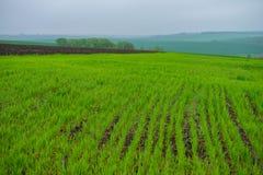 Fält av ungt grönt vete i bergig terräng royaltyfri fotografi