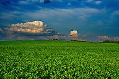 Fält av växt av släktet Trifolium Royaltyfria Bilder
