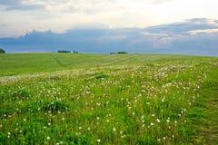 Fält av växt av släktet Trifolium Arkivbild