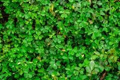 Fält av växt av släktet Trifolium för tre blad Arkivbild