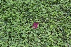Fält av växt av släktet Trifolium med den röda lönnlövet Royaltyfria Foton