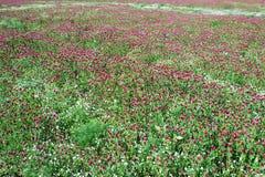 Fält av växt av släktet Trifoliumlilor, bakgrund Royaltyfri Bild