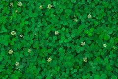 Fält av växt av släktet Trifolium Grön bakgrund arkivfoton