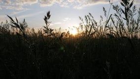 Fält av växter efter regnet på solnedgången Solen reflekteras i dropparna Moving kamera Stor bakgrund för ditt arkivfilmer