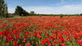 Fält av vallmo i Luberon - Frankrike Royaltyfria Foton