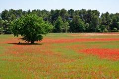 Fält av vallmor Royaltyfria Foton