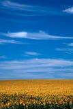 Fält av vertikala ljusa solrosor Arkivfoton