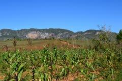 Fält av Vinales, Kuba Fotografering för Bildbyråer