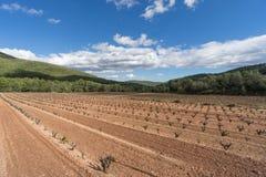 Fält av vingårdar i den Priorat regionen i Spanien Royaltyfri Bild