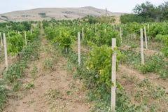 Fält av vingården Arkivbilder