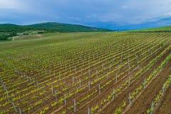 Fält av vingården för rött vindruva Royaltyfri Bild