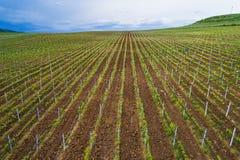 Fält av vingården för rött vindruva Royaltyfria Foton