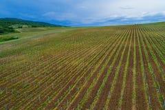 Fält av vingården för rött vindruva Arkivfoton