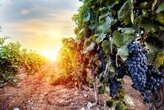 Fält av vingården mycket av druvor under soluppgång royaltyfri bild