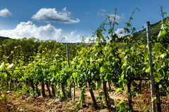Fält av vinrankor i bygden av Tuscany Arkivbilder