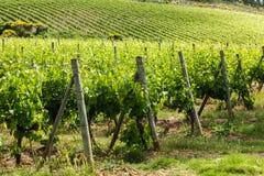 Fält av vinrankor i bygden av Tuscany Arkivfoto