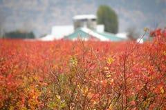 Fält av vinterblåbär Royaltyfria Bilder