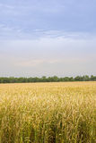 Fält av vintervete, gräsplan, skörd royaltyfri bild