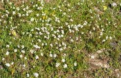 Fält av vita blommor för argyranthemum Arkivbilder