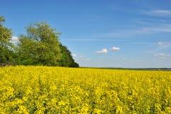 Fält Blom av våldtar Fördunklar blå himmel för det gula fältet i himlen Landskap Guling-blått fält Träd nära fältet arkivbild