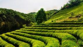 Fält Boseong för grönt te Arkivfoto