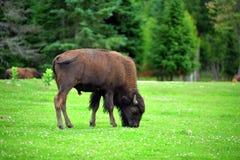 fält för amerikansk bison Royaltyfri Fotografi