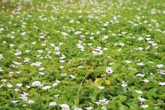 Fält för blomma för morgonhärlighet Arkivfoto