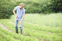 Fält för bondeWorking In Organic lantgård som krattar morötter Arkivfoton
