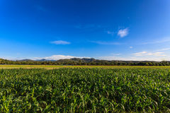 Fält för grön havre Royaltyfri Fotografi
