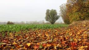 Fält för grön sallad i dimmig dag med nedgångsidor royaltyfri bild