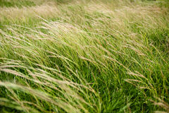 Fält för grönt gräs lutar i vinden Arkivbild