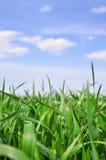 Fält för grönt gräs på en bakgrund för blå himmel Arkivbild