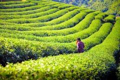 Fält för grönt te i Chiang Rai, Thailand Arkivfoton