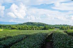 Fält för grönt te på en molnig dag Arkivbilder