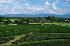 Fält för grönt te på en molnig dag Fotografering för Bildbyråer