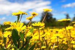 Fält för gul kamomill arkivfoton
