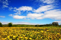 Fält för gul kamomill royaltyfri fotografi