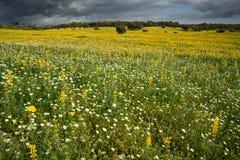 Fält för gula och vita blommor Arkivbilder