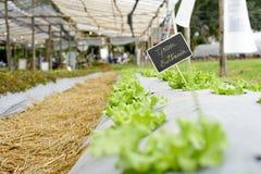 Fält för head grönsallat för smör Arkivfoto