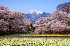 Fält för körsbärsrött träd och pingstlilja royaltyfria foton