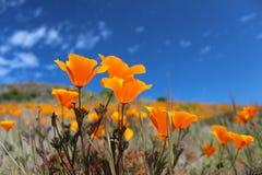 Fält för Kalifornien vallmo i vår, USA Royaltyfri Foto