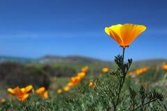 Fält för Kalifornien vallmo, stora Sur, Kalifornien Royaltyfri Bild