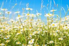 Fält för kamomilltusenskönasommar solig ljus sommar för blomningliggandeäng Royaltyfria Foton