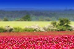 Fält för karmosinröd växt av släktet Trifolium Royaltyfri Fotografi