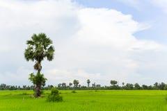 Fält för kokospalmrislantgård i Laos Royaltyfri Fotografi