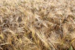 Fält för korn (vete) Arkivfoto