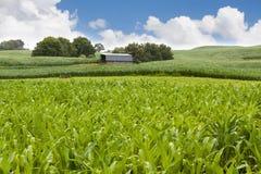 fält för ladugårdhavrelantgård Arkivbilder