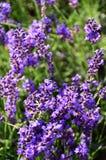 Fält för lila- och gräsplanlavendelblomma royaltyfri bild