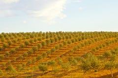 Fält för Olive tree Arkivfoto