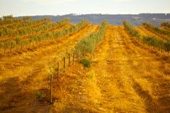 Fält för Olive tree Royaltyfri Fotografi